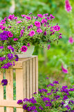 Garden violet flower in pot standing crate Stock Photo