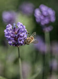 Garden - the violet flowers and a bee. This image shows a garden with some violet flowers Stock Photo