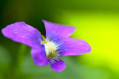 Garden violet flowers blooming in spring Royalty Free Stock Image