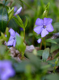 Garden violet flowers Royalty Free Stock Photo