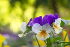 Garden violet, garden pansy, pansy Viola × wittrockiana gams. Slightly white - yellow - violet flowers of garden gardener on a very nicely blurry Royalty Free Stock Photos