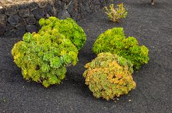 Garden in volcanic sand royalty free stock images