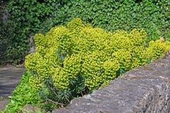 Garden wall euphorbia plant Stock Photography