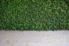 Green bush wall of leaves in garden, background texture wallpaper image Stock Photography