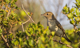 Garden Warbler on Shrubbery Royalty Free Stock Images