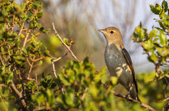 Garden Warbler on Shrubbery Royalty Free Stock Photos