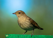 Garden Warbler. Sitting on the fence in the garden Royalty Free Stock Image