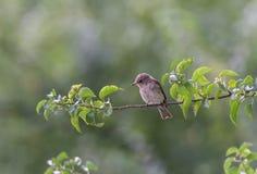 Garden warbler Royalty Free Stock Images