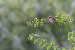 Garden warbler. Sitting on his tree Royalty Free Stock Photo