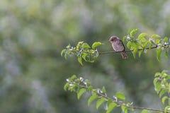 Garden warbler Royalty Free Stock Photo