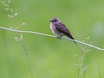 Garden warbler Stock Photography