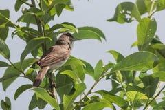 Garden warbler Stock Images