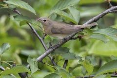 Garden Warbler,  sylvia borin bird Stock Images