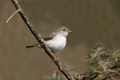 Garden warbler, Sylvia borin Stock Photos