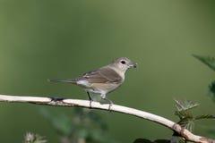 Garden warbler,  Sylvia borin Royalty Free Stock Photo