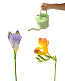 Garden watering can and freesias Stock Photography