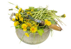 Garden weeds are dandelions Royalty Free Stock Images