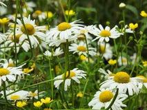 A garden of white daisies royalty free stock image