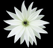 Garden white flower, black isolated background with clipping path.  Closeup.  no shadows. view of the stars,  for the design. Royalty Free Stock Photo
