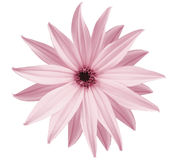 Garden white-pink flower, white isolated background with clipping path.  Closeup.  no shadows. view of the stars,  for the design. Royalty Free Stock Photos