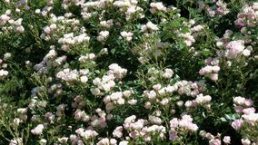 Garden white roses bloom in the botanical garden. Garden white roses bloom in bright sunny and windy summer day video footage floral colorful background stock video footage