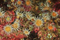 Garden of white striped anemones. Anthothoe albocincta on rocks covered with pink coralline algae stock photo