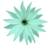 Garden white-turquoise flower, white isolated background with clipping path.  Closeup.  no shadows. view of the stars,  for the de Royalty Free Stock Photos