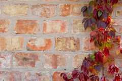 Garden wild grapes with autumn leaves on a brick wall. Royalty Free Stock Images