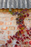 Garden wild grapes with autumn leaves on a brick wall. Stock Images