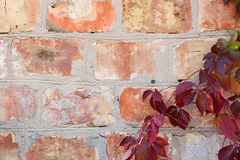 Garden wild grapes with autumn leaves on a brick wall. Royalty Free Stock Photo