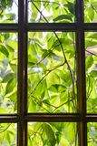 Green leaves of grapes from the back of the window. Garden window in my country house stock photos
