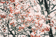 Garden in winter. Decorative tree of Rowan in the snow Royalty Free Stock Photos