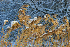 Garden in the winter: frozen reeds and trees Royalty Free Stock Photo
