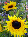 Garden With Sunflowers