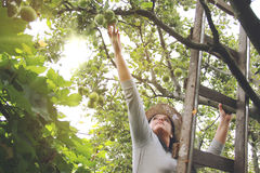 Garden Woman is Picking up an Apples on Ladder. Garden Woman in Leghorn is Picking up an Apples on Ladder Royalty Free Stock Photo