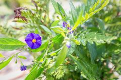 garden wonderland bloom in the midst of leaves royalty free stock photo