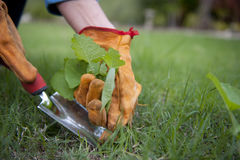 Garden Work. Removing weeds out of the lawn is part of the regular gardening royalty free stock photography