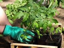 Garden work. Tomato seedlings in flowerpots, spring garden work stock photo
