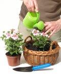 Garden work. Man watering verbena flowers in his garden royalty free stock photography