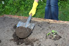 Garden work. Digging by shovel closeup royalty free stock images