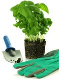 Garden work with basil, isolated Stock Image