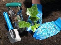 Garden work: ivy seedling Stock Images