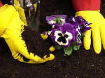Garden work with pansy Stock Image
