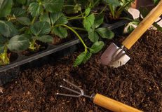 Garden work. Planting strawberry. Royalty Free Stock Photography