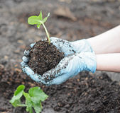 Garden work - spring planting. In hands stock photography