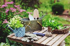 Garden work still life in summer. Camomile flowers, gloves and tools on wooden table outdoor. In sunny day with flowers blooming on background royalty free stock images