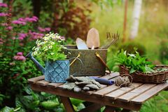 Garden work still life in summer. Camomile flowers, gloves and tools on wooden table outdoor in sunny day stock images
