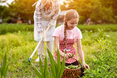 Garden work. At summer, granddaughter and grandmother stock images