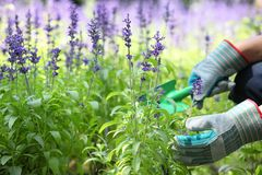 Garden worker dig up lavender flower bed. Royalty Free Stock Photo
