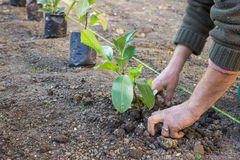 Garden worker hands carefully plant  4. Garden worker hands carefully plant at the new apartment block. Hands covering a newly planted with dirt Royalty Free Stock Images